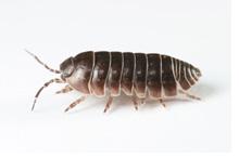 Image - Pill Bug